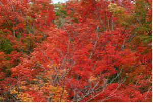Forest showing orange and red fall colours