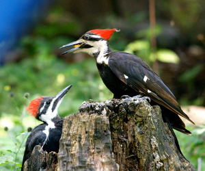 Pileated woodpecker by Jennifer Howard, CWF supporter
