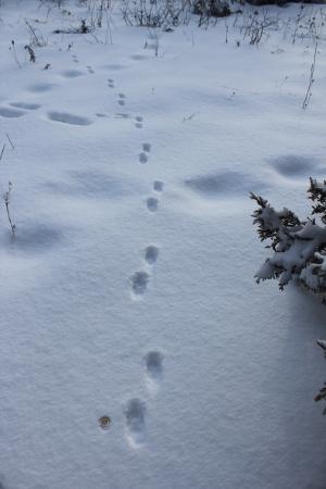 red fox track 2