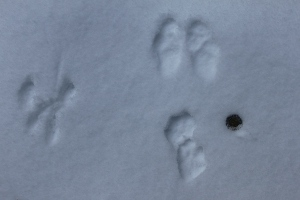 snowshoe hare and squirrel tracks