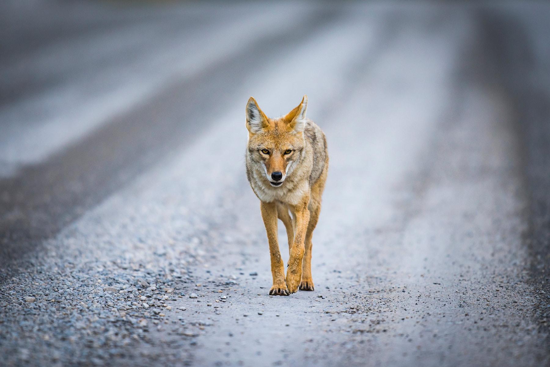 coyote-road.jpg