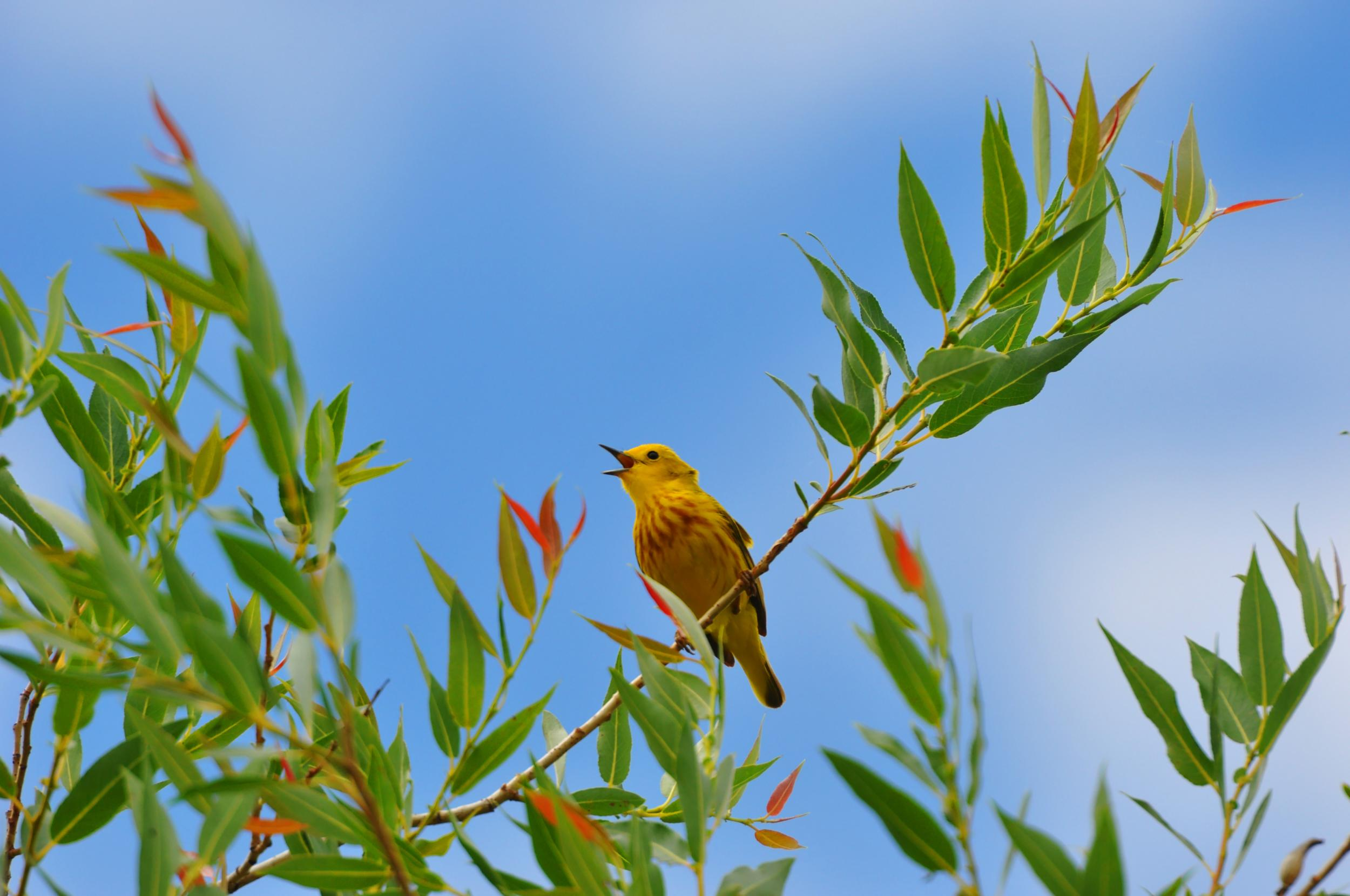 Yellow Warbler in a tree top