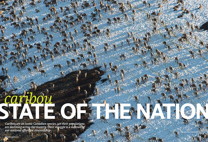 Feature Caribou State of the Nation