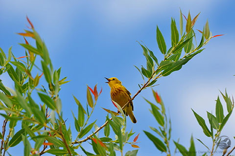 Wallpaper Mobile Yellow Warbler