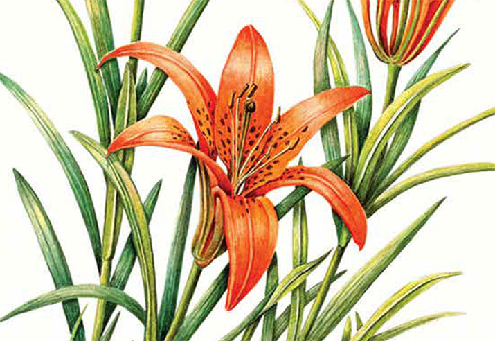 Article image with illustration of a tiger lily