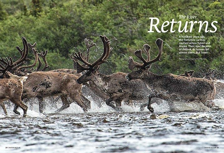 Caribou crossing river