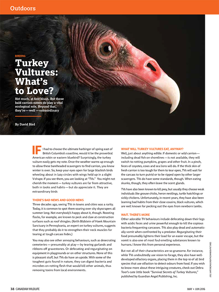 Canadian Wildlife Magazine Article Birding Turkey Vultures