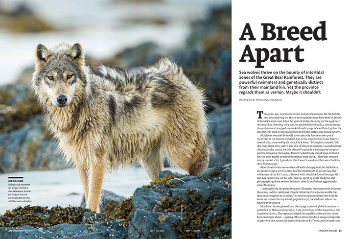Canadian Wildlife Magazine Article Feature A Breed Apart Wolf