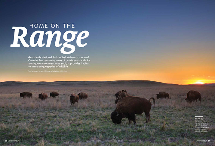 Canadian Wildlife Magazine Article Feature Home on the Range Bison