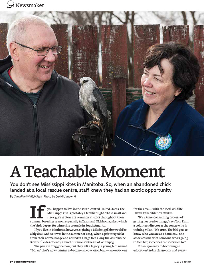 Article image with photo of Mississipi Kite and its handler