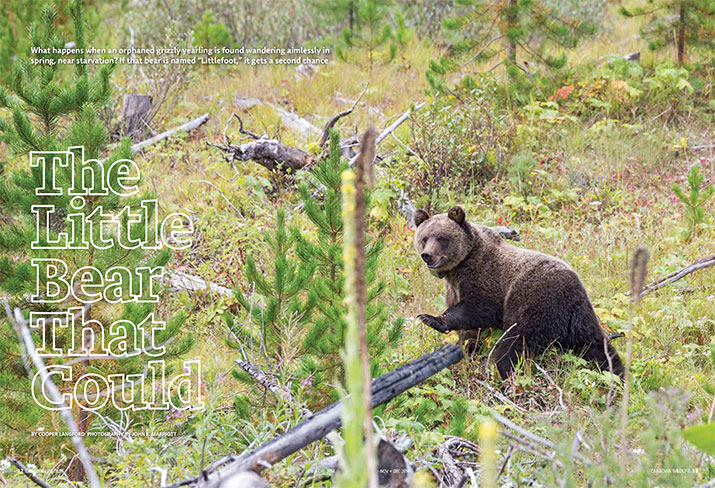 Canadian Wildlife November December 2014 Feature Little Bear