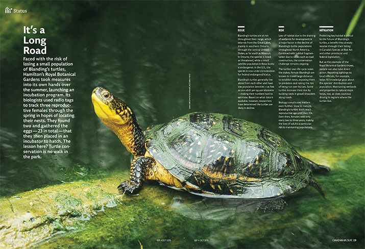Status report of blandings turtle