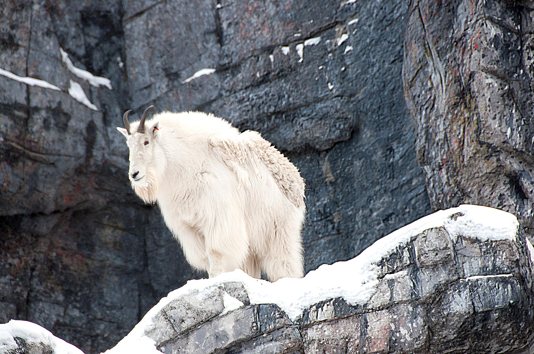 dahl sheep mountain