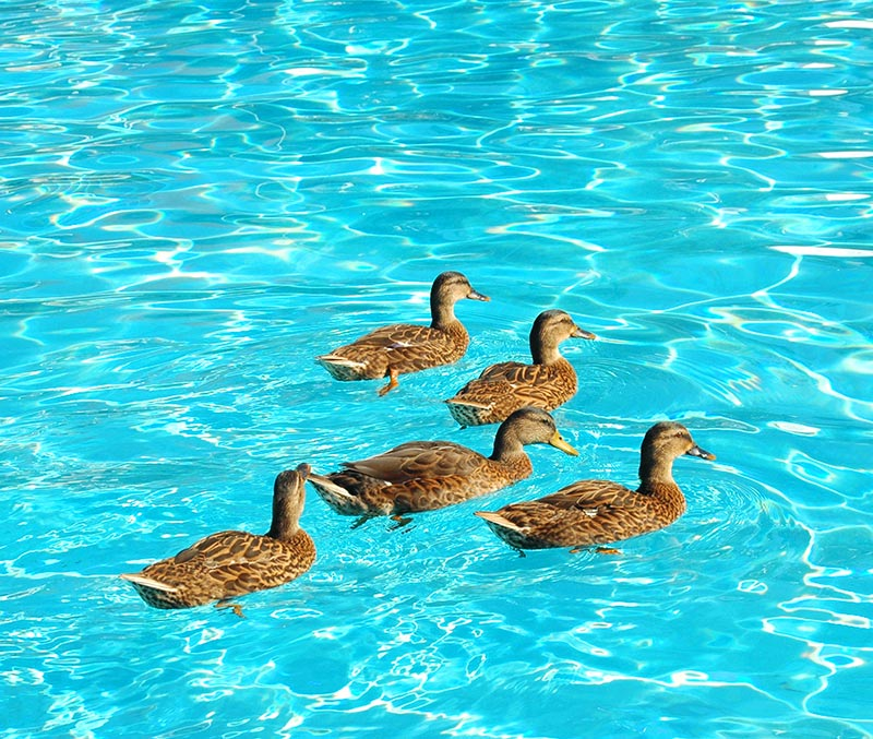 mallard ducks in swimming pool