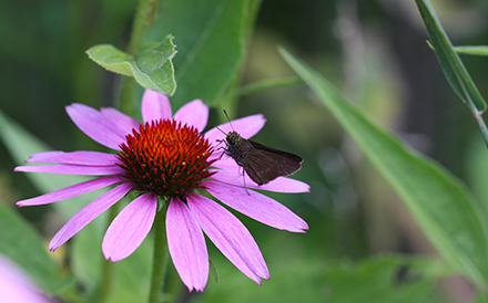 echinacea-with-butterfly
