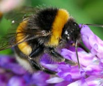 Featured Species: Bumble bee