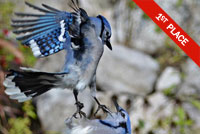 Bluejays Photo by Isabelle Marozzo