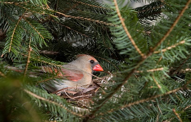 Female Cardinal Bird in Tree