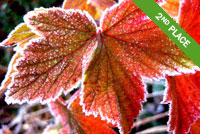 Raspberry Leaf with frost Photo by Carla Whiteside