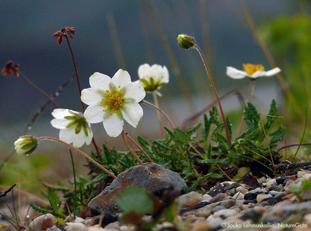 Northwest Territories Mountain Avens