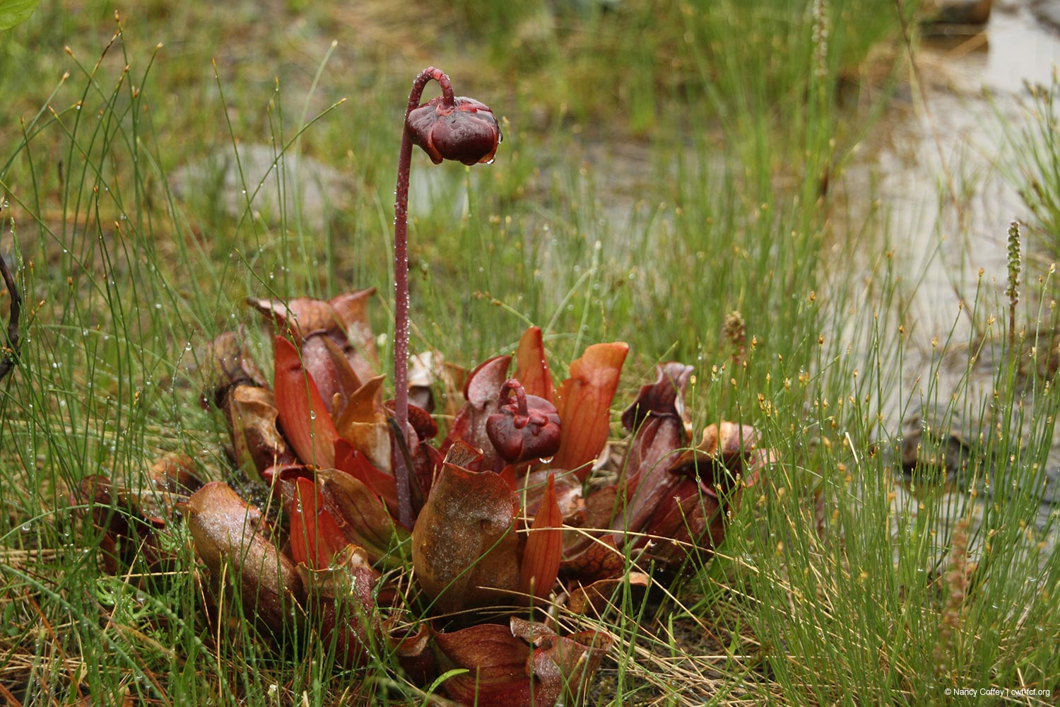 Newfoundland and Labrador Pitcher Plant