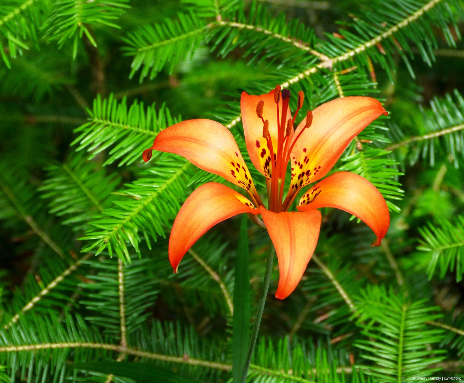 Sasketchewan Wood Lily