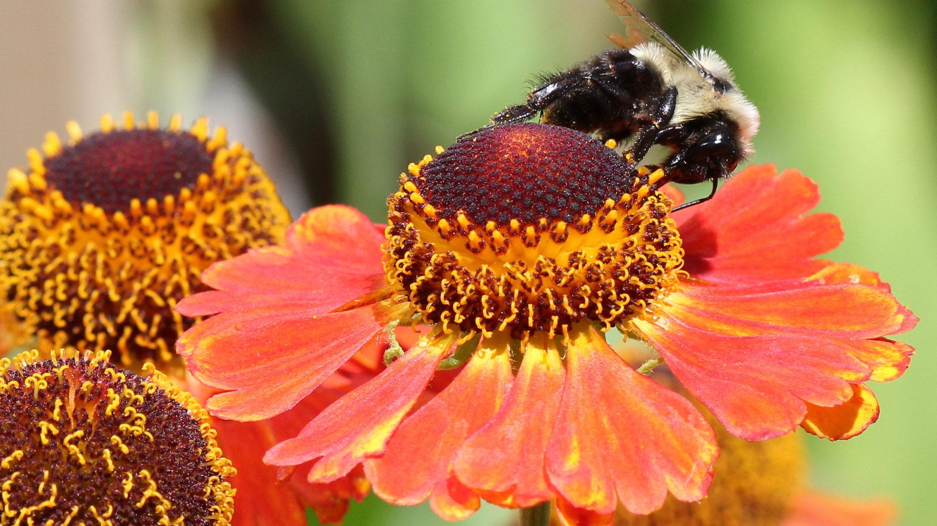 gaillardia bee flower