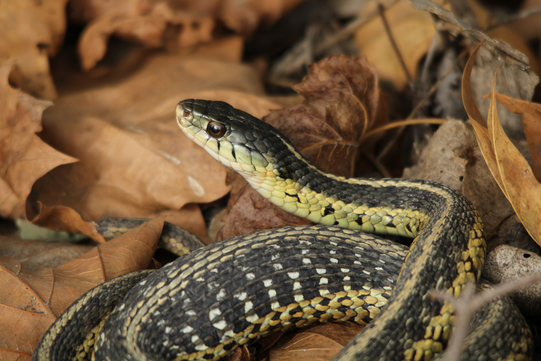 garter snake coiled in leaves