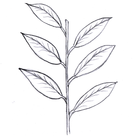 Alternate leaves