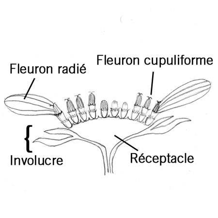 Fleuron radié thumbnail