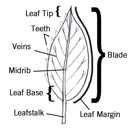 Leaf margin thumbnail