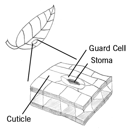 Cuticle thumbnail