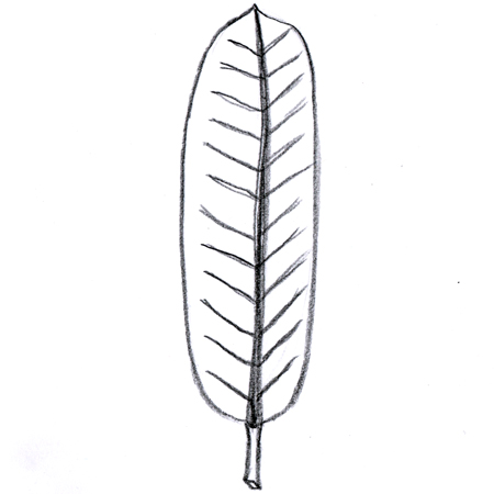 Oblong leaf