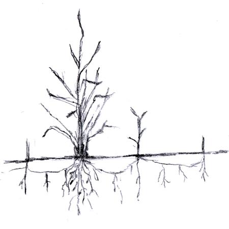 rhizome.jpg