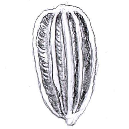 Schizocarp