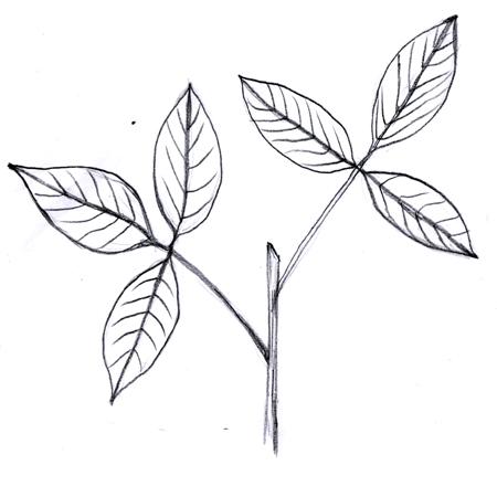 Trifoliate