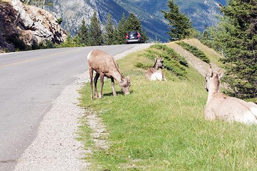 goat-roadside-eating-grass-small
