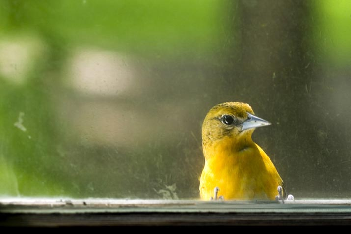 Gold finch staring into a window