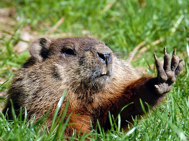 groundhog-funny-mammal-grass