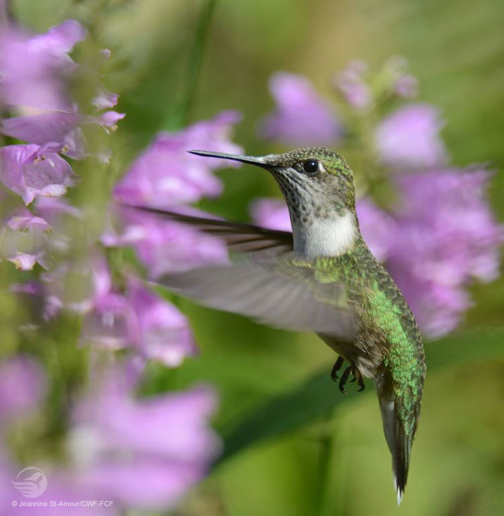 Hummingbird and Obedient Plant