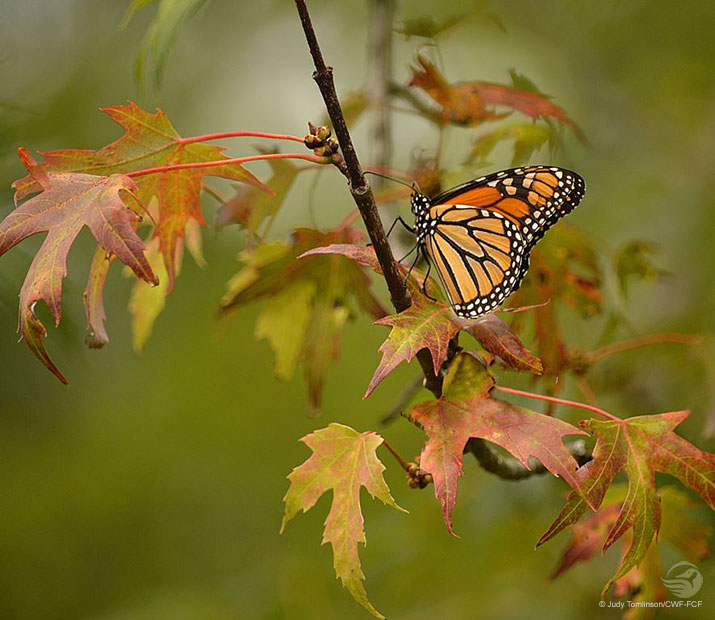 Monarch butterfly on a tree branch surrounded by fall coloured leaves