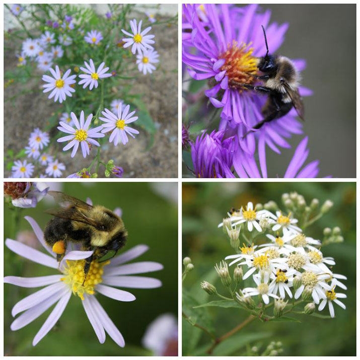 Photos of asters
