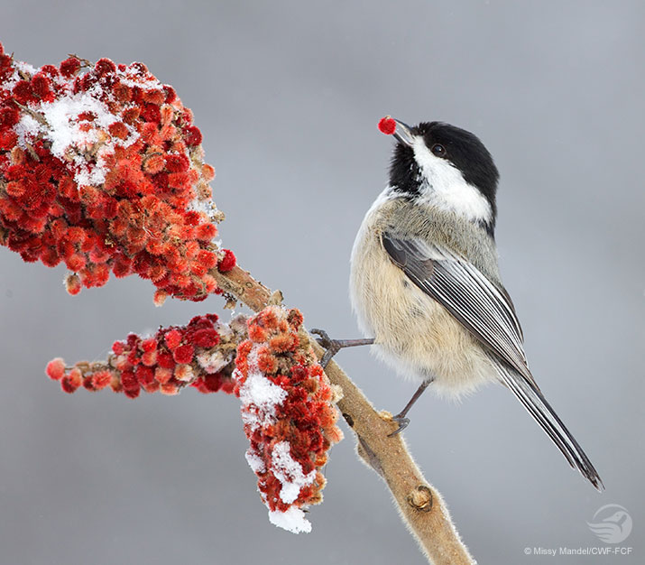Chickadee eating from a sumac bush