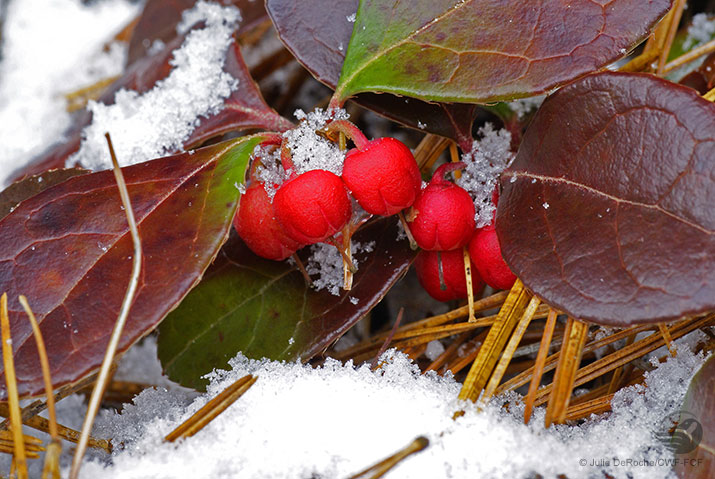 Wintergreen berries in snow
