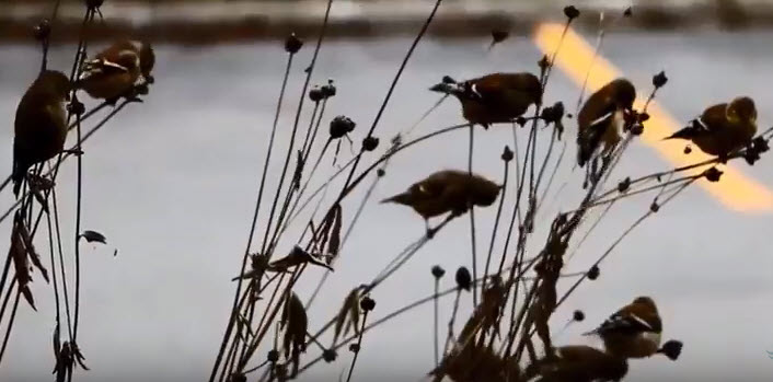 Goldfinches Video