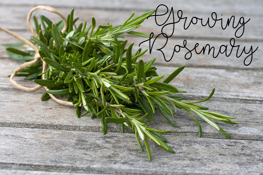 growing rosemary pinterest
