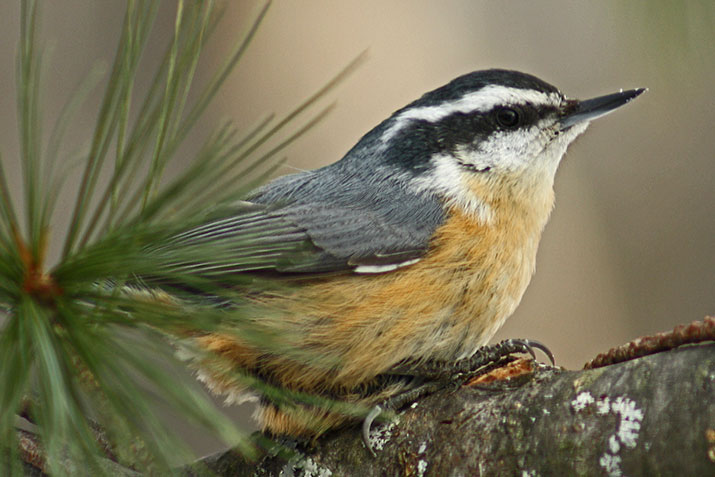 Canadian Wildlife Federation Red Breasted Nuthatch