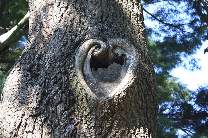 Tree with heart in bark