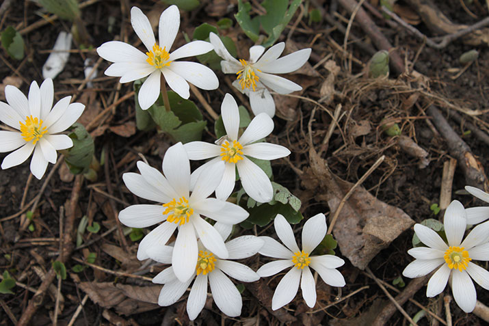 Bloodroot by Sarah Coulber