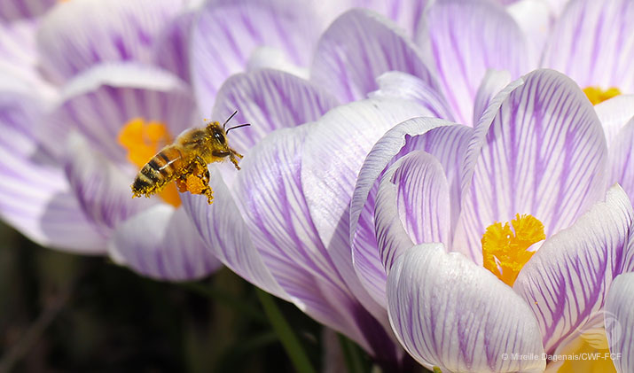 Crocuses and bees by Mireille Dagenais